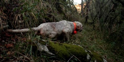 Setter inglés de muestra sobre becada en el coto de caza del Valle de Mena