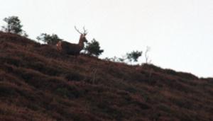 Venado, en la ladera de Zalama (coto de caza del Valle de Mena)